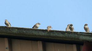 birds in gutter